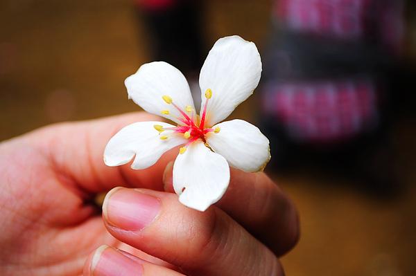 五月雪..追求幸福的油桐花