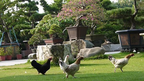 生動活潑的雞