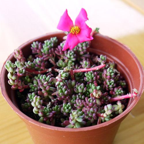 紫米飯02