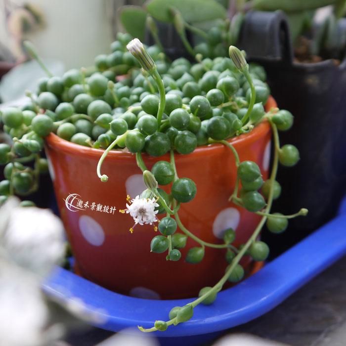 綠之鈴開花
