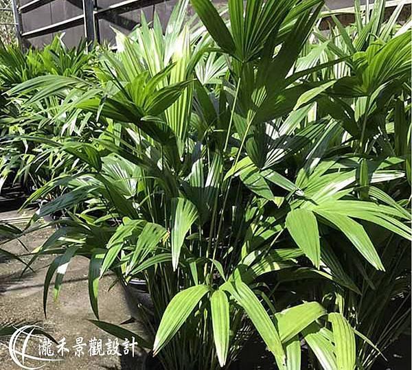 lungho-Livistona chinensis-0823-03.jpg