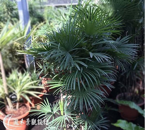 lungho-Rhapis excelsa-0823-07.jpg