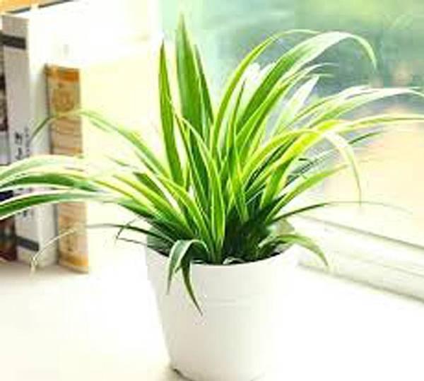lungho-Chlorophytum comosum-0821-1.jpg