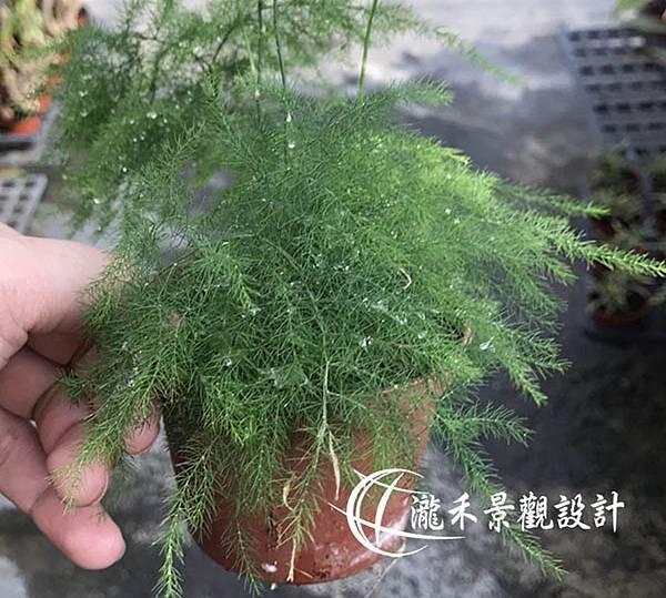 lungho-Asparagus setaceus-0821-05.jpg