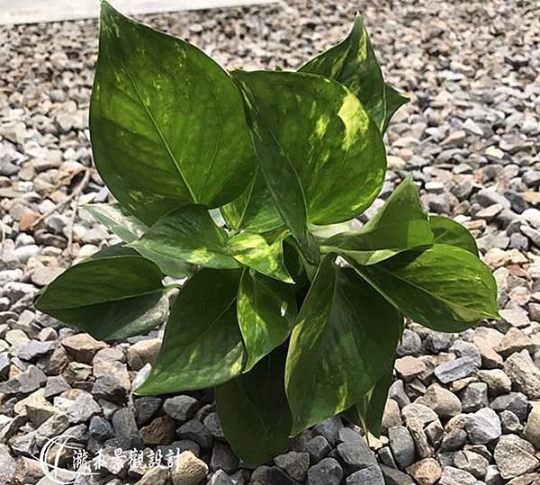lungho-Epipremnum aureum-0821-09.jpg