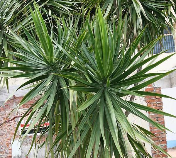 lungho-Dracaena marginata Lam-0821-13.jpg