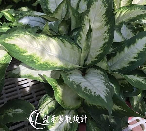 lungho-Dieffenbachia camilla-0821-16.jpg