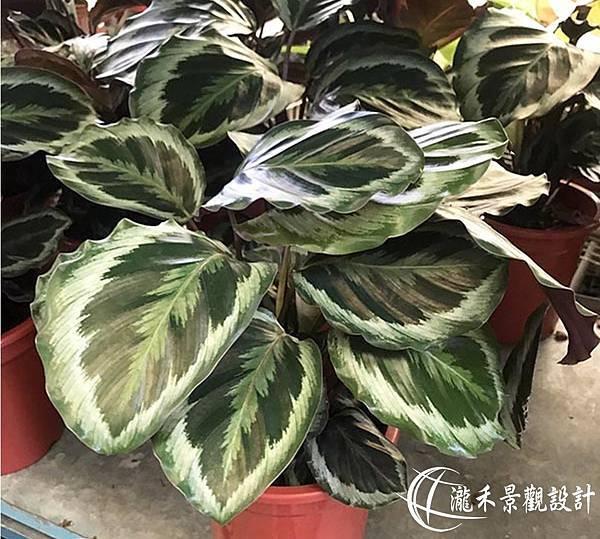lungho-Calathea makoyana-0821-17.jpg