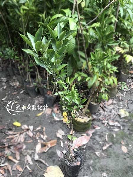 1071126-lungho-Orange-001.jpg