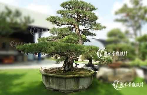 Japanese Black Pine0605-1.jpg