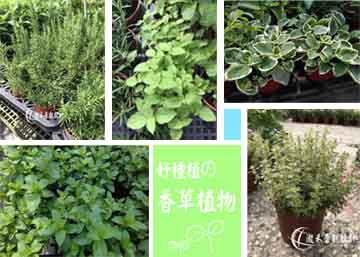 lungho-Vanilla plant.jpg