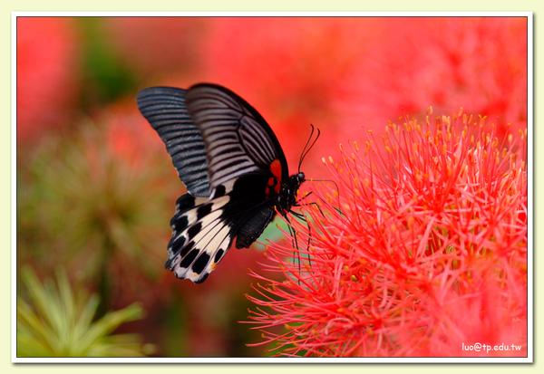 大鳳蝶與火球花
