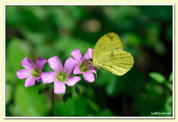 台灣黃蝶與黃花酢醬草