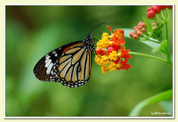 黑脈樺斑蝶與馬莉筋