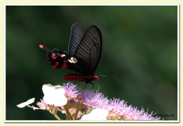 大紅紋鳳蝶與高山藤繡球