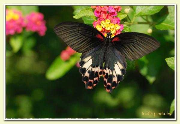 台灣鳳蝶♀與馬櫻丹