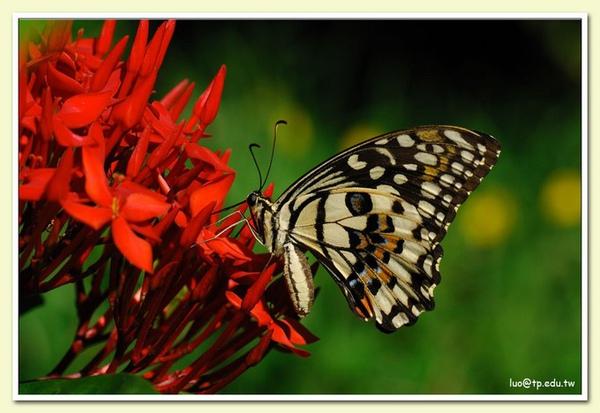 無尾鳳蝶與仙丹花