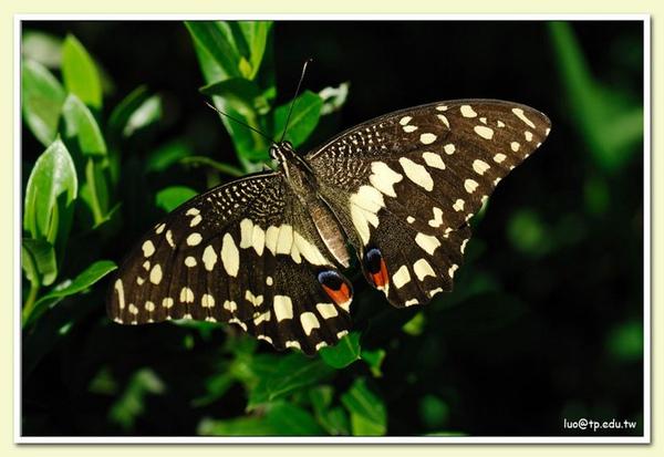無尾鳳蝶展翅