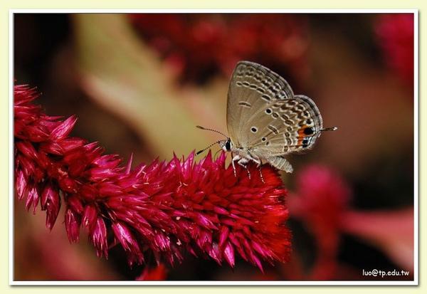 蘇鐵小灰蝶與雞冠花