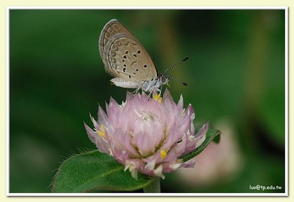 非常迷你的微小灰蝶