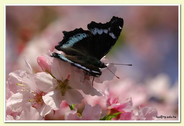 琉璃蛺蝶與吉野櫻