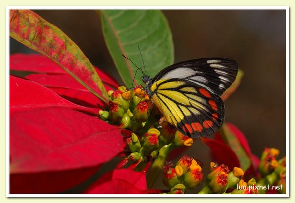 紅紋粉蝶與聖誕紅