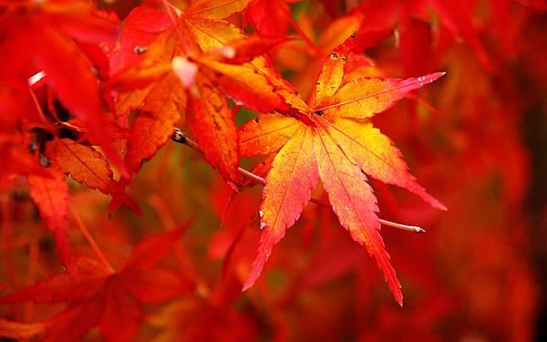 紅豔的楓葉