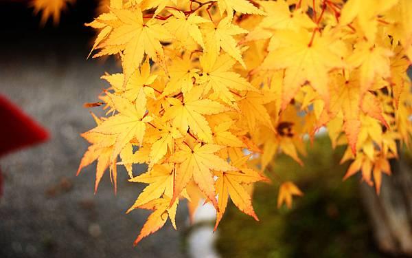 變黃的楓葉