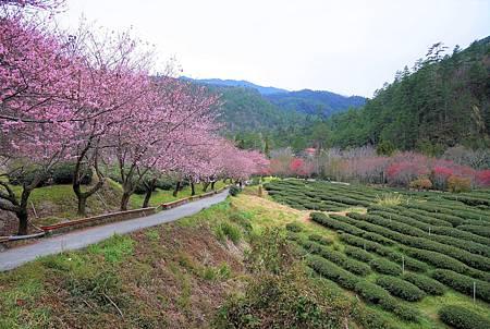 【台中和平區 | 景點】一處柔美的粉色夢境❀武陵農場