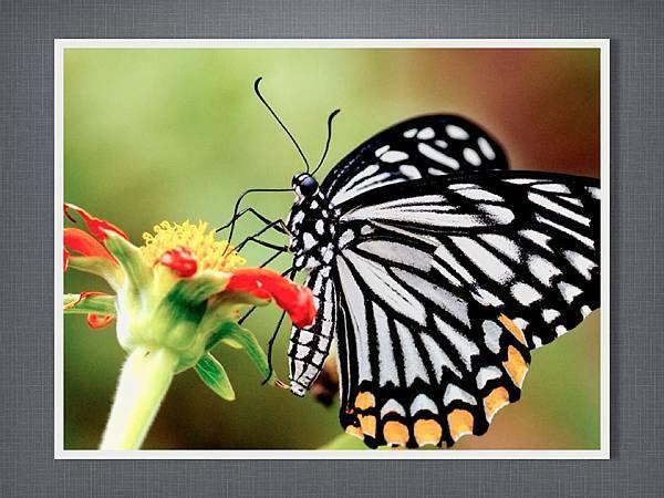 110915有趣的繪畫課~蝴蝶.005.jpg