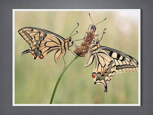 110915有趣的繪畫課~蝴蝶.008.jpg