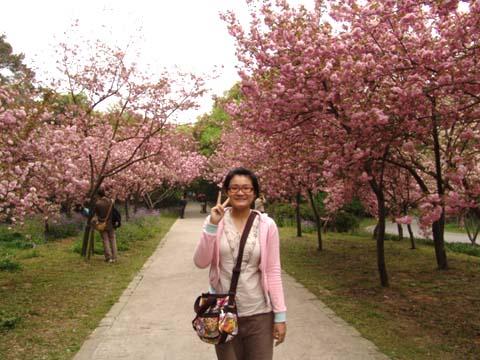 pon和櫻花林