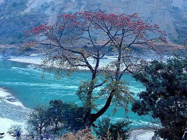 怒江溫泉旁的木棉樹