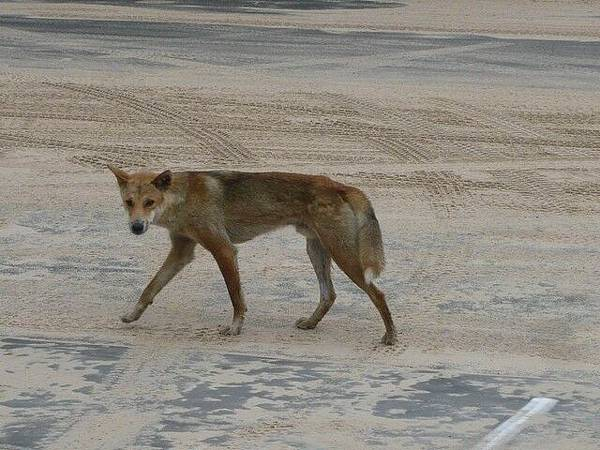 島上特有的野生動物丁狗Dingo