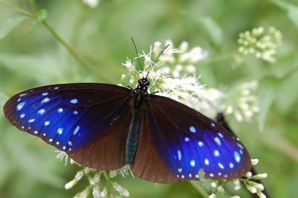 紫斑蝶照片二.jpg