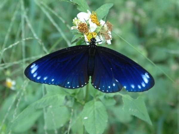 紫斑蝶照片一.jpg