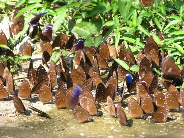 紫斑蝶照片三.jpg