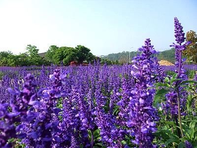 福爾摩莎的紫色寶藏.jpg