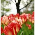 植物公園外的鬱金香