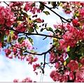 很像櫻花的花~