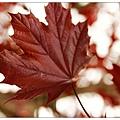 五角的楓葉~