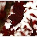 不用到秋天也會紅
