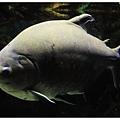 仍然是巨大魚