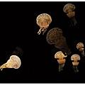 像小蘑菇一樣的水母~