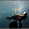 在游水的海獅