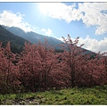 藍天配櫻花
