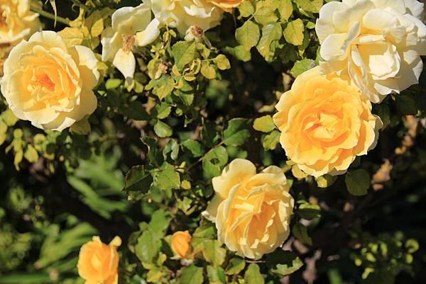 活】玫瑰花兒