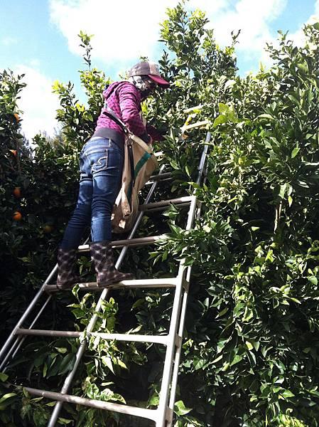 工】採橘子的天梯