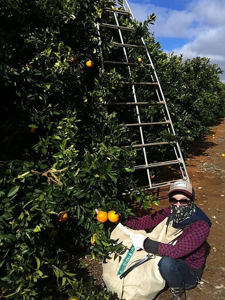 工】我採了三天的橘子