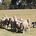 遊】趕羊中